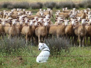 schäfer dog demonstrates group dynamics