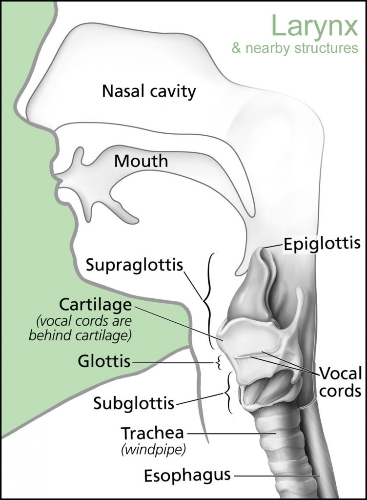 Larynx Anatomy and Nearby Structures